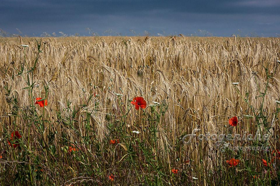 Villebois-Lavalette-Fields_France