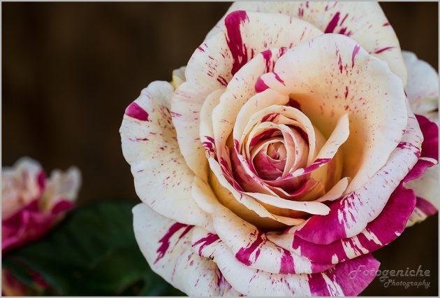 Local Rose